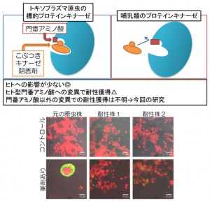 東大ら,トキソプラズマ原虫が増殖阻害剤に耐性を獲得する原因遺伝子を発見