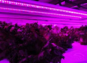 昭和電工製植物育成用LEDおよびShigyo法を採用した植物工場が完成