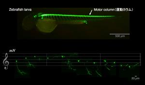 国立遺伝学研究所,脊髄運動ニューロンのカラム構造を明らかに