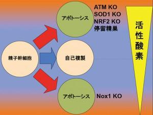 京大ら,活性酸素の精子幹細胞に対する増殖促進作用を解明