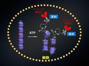 東大,細胞内でのみ選択的に薬剤を放出できるナノチューブ型分子ロボットの開発に成功
