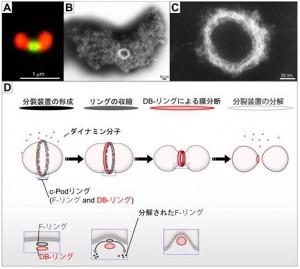 立教大、DNAを含まない単膜系の細胞小器官に分裂リング(c-Pod)を発見