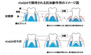 岡山大、還元型コエンザイム Q10の塗布で歯茎を若く保つ
