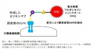 慶大、分子標的治療薬セキシマブの大腸癌に対する新しい効果予測法を開発