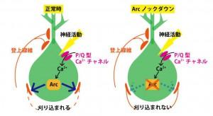 東大、発達期の小脳において、シナプス刈り込みに前初期遺伝子Arcが必要なことを発見
