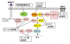 東北大、心筋症をもつ先天性疾患の新しい原因遺伝子を発見