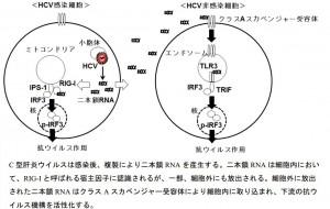 岡山大、C型肝炎ウイルスの感染を認識する新しい分子機構を解明