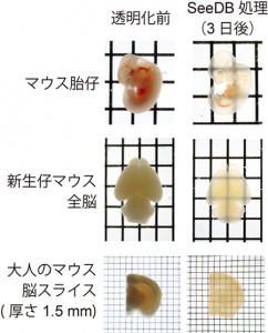 理研、簡便で生体試料にやさしい組織透明化試薬「SeeDB」を開発