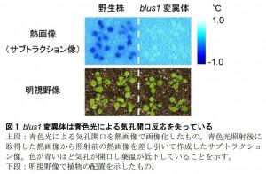 九大、青色光に応答して気孔開口を可能にするタンパク質を発見