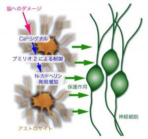 東大、グリア細胞が脳傷害から神経を守るカルシウム機構を解明