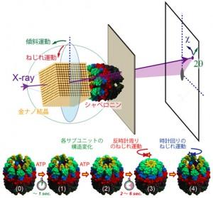 東大ら,タンパク質修復に新たな分子内運動を世界で初めて発見