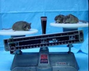 名大、新たなマウス肥満抑制遺伝子 MRAP2 を発見