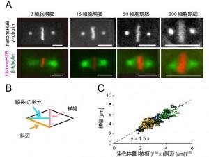 遺伝学研、線虫胚の紡錘体における幅、長さと染色体量の定量的な関係性を解明