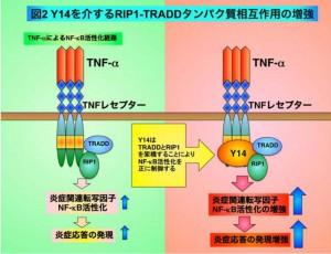 北大、炎症応答を制御する新たな分子を同定