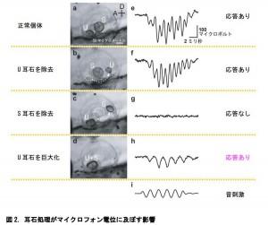 名大、耳石の大きさを変えることで サカナの耳は音受容能を獲得することを発見