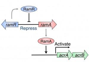 阪大、多剤排出タンパク質の発現にブレーキを掛ける機構を解明