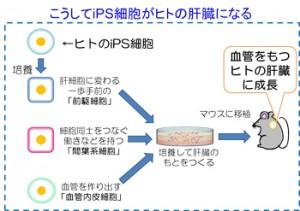 横市大、iPS細胞から血管構造を持つ機能的なヒト臓器を創り出すことに成功