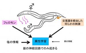 東大、異性の存在に依存して線虫の雄が行なう連合学習を発見
