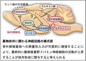 北大、コカインによって活性化される新たな脳部位を発見