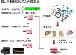 NCNP、皮膚細胞を用いて体内時計を測る手法を開発