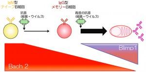 理研ほか、メモリーB細胞が再感染から速やかに体を守る仕組みを解明
