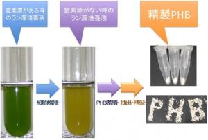 理研ほか、ラン藻が作るバイオプラスチックの増産に成功