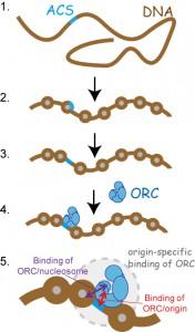 遺伝研、DNA複製のスタート地点の決定におけるクロマチンの役割を解明