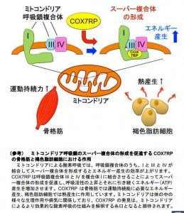 東大ほか、筋肉運動の持続力を生み出すミトコンドリア遺伝子を発見