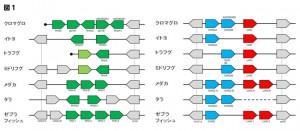 遺伝研ら、太平洋クロマグロ全ゲノムを解読