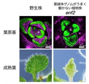 基礎生物研、葉緑体の状態に応じて葉が形を変える際のメカニズムを解明