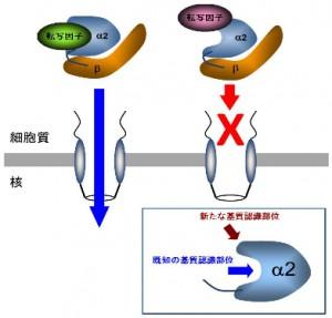 阪大と日大、哺乳類ES細胞の新たな未分化維持機構を発見