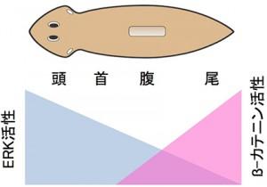 京大など、「再生できるプラナリア」と「再生できないプラナリア」の謎を解明