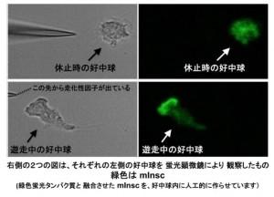 九大、白血球が侵入病原菌に向かって走るための分子機構を解明