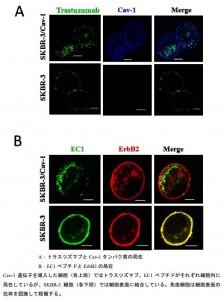 岡山大、がんを標的する抗体医薬の耐性因子を解明