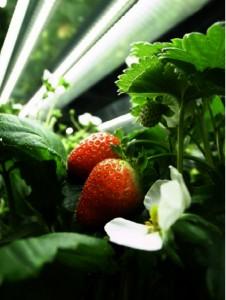 藤電気と明大ら,閉鎖型人工光植物工場におけるイチゴの量産技術を確立