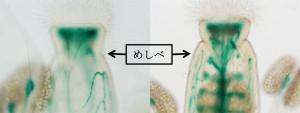 東大、暑さに負けない「植物の受精」の仕組みを解明