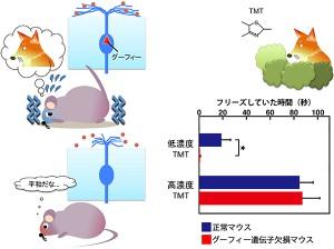 理研、嗅覚の鋭敏さを生み出す新規分子「グーフィー(Goofy)」を発見