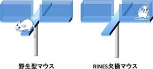 理研、社会性や情動に関する行動を制御する因子をマウスで発見