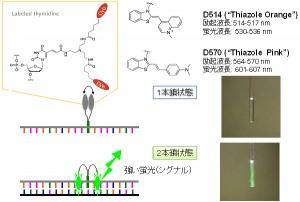 理研ほか、蛍光プローブ「Eprobe」のリアルタイムPCRへの応用