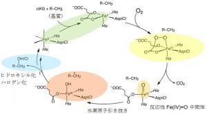 京大、ハロゲナーゼSyrB2の反応中間体であるFe(IV)=O中間体の構造解明