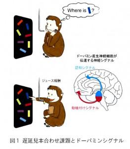京大と筑波大、認知機能と動機付け機能を支える2つのドーパミン神経システムを解明