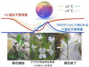 京大ほか、たった二つの開花遺伝子によって開花時期を高精度に予測