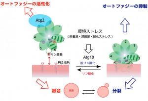 京大と阪大、神経疾患関連タンパク質のリン酸化による生体膜相互作用とオートファジーの制御メカニズムを解明