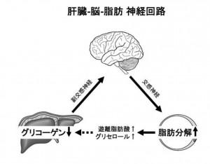 筑波大と東大、肝臓内グリコーゲン量の検知システムを発見