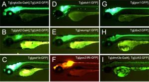 生理研、神経細胞の特性を明らかにするためのトランスジェニックゼブラフィッシュ群を作成