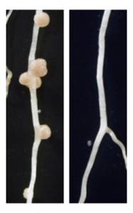 基礎生物研、マメ科植物の根粒の数を制御するシグナル分子の構造を解明