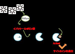 阪大、ウイルス感染に対抗する新たな免疫反応の仕組みを解明