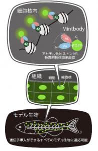 阪大、生体内での遺伝子活性化の目印の観察に成功