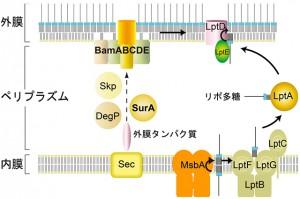 京大、膜タンパク質の組立と分解に関わる新規プロテアーゼを発見