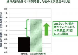 理研、ラン藻の水素生産量を2倍以上増加させることに成功